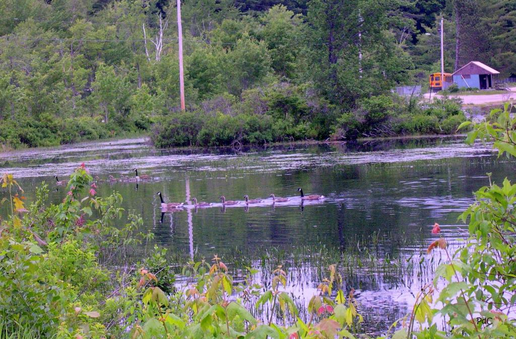 Early morning geese swimming in Gregg Lake