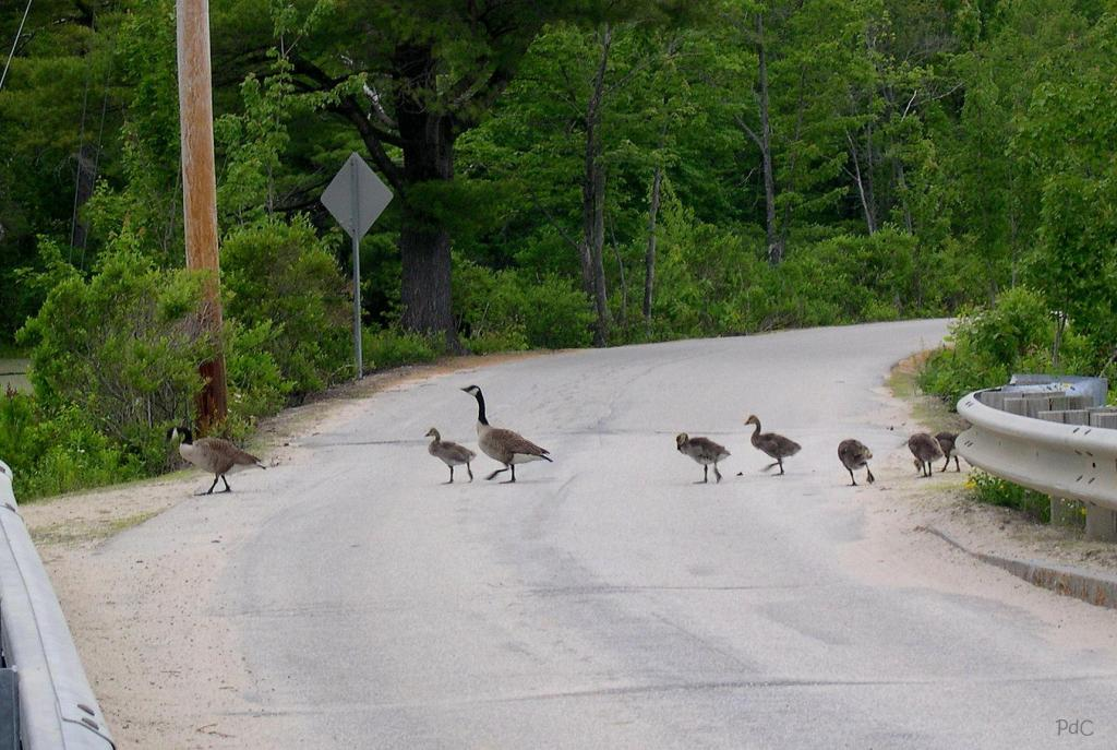 Family of eight geese cross the road