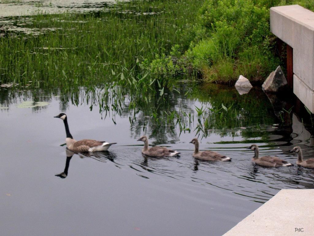 Family of geese swim under the bridge