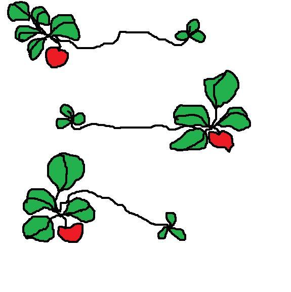 Strawberries Are Perennials