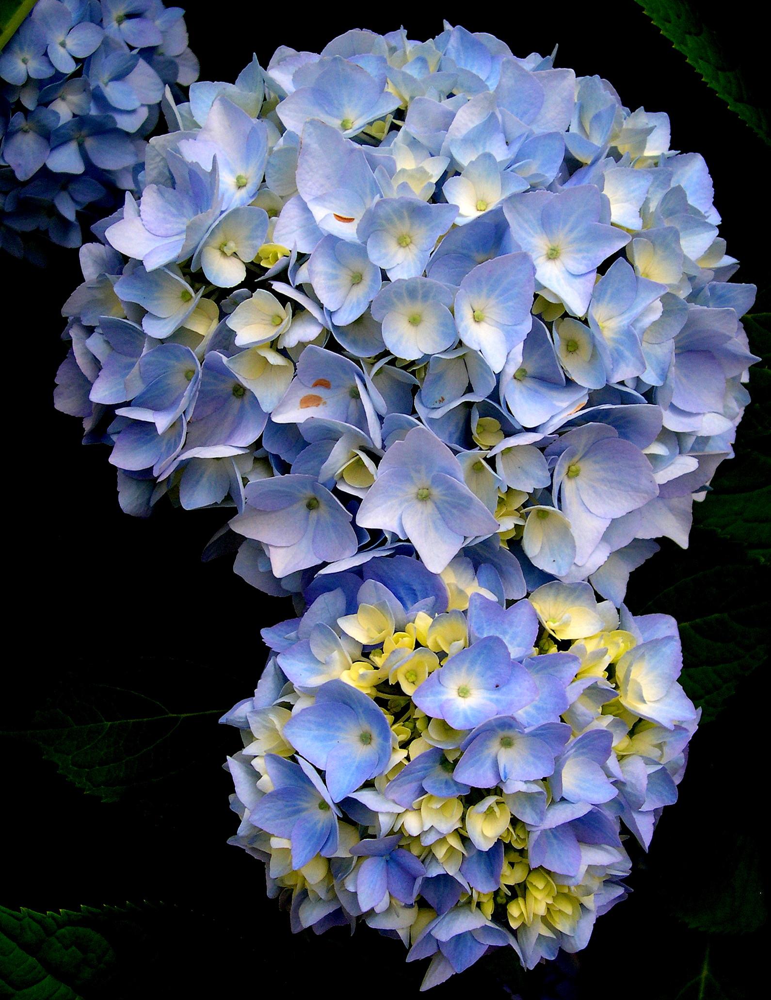 Blue Hydrangeas in Bloom – New England's Narrow Road  Blue