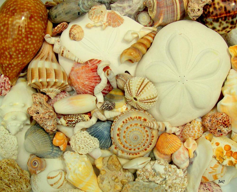 My Seashell Collection and ID Pages