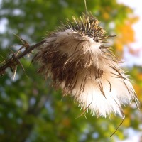 Nature's Fluffy Seed Pods