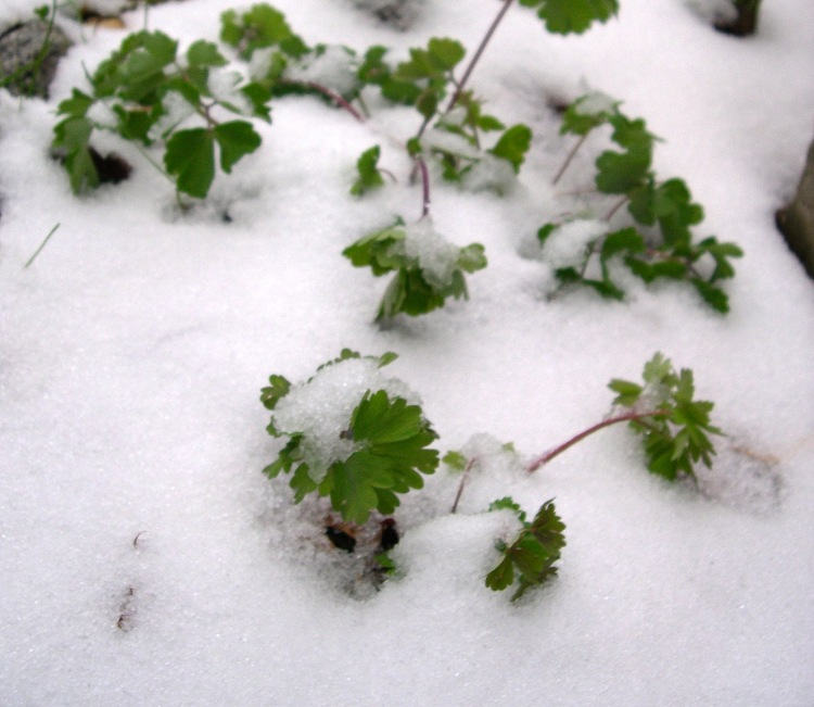 Columbine in snow