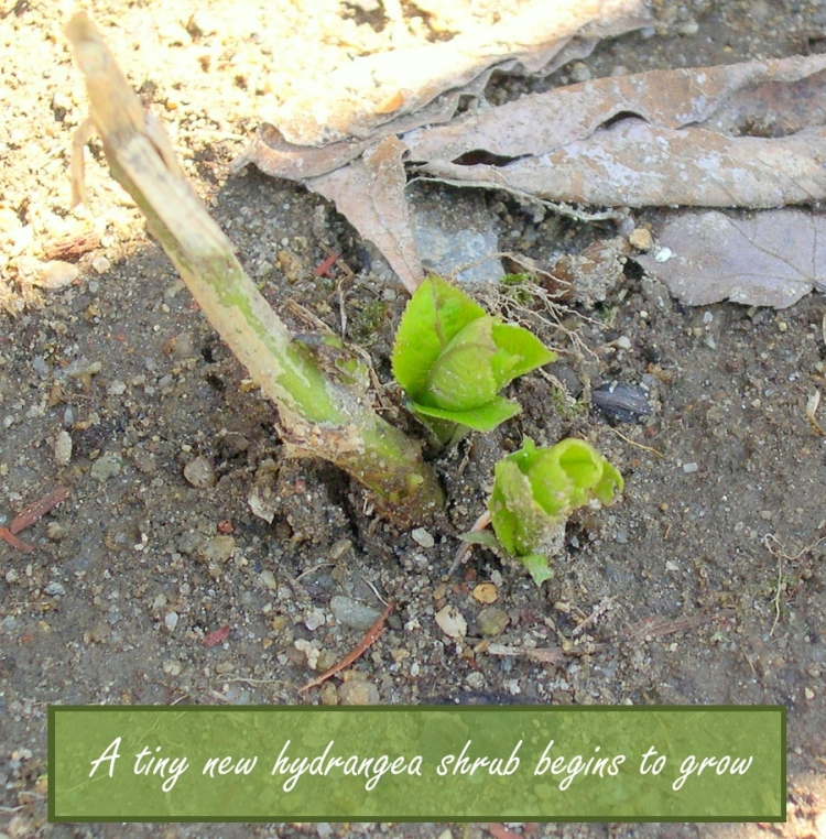 new-hydrangea-plant