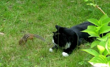 Cat and chipmunk