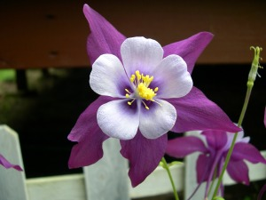 Purple Columbine Flower