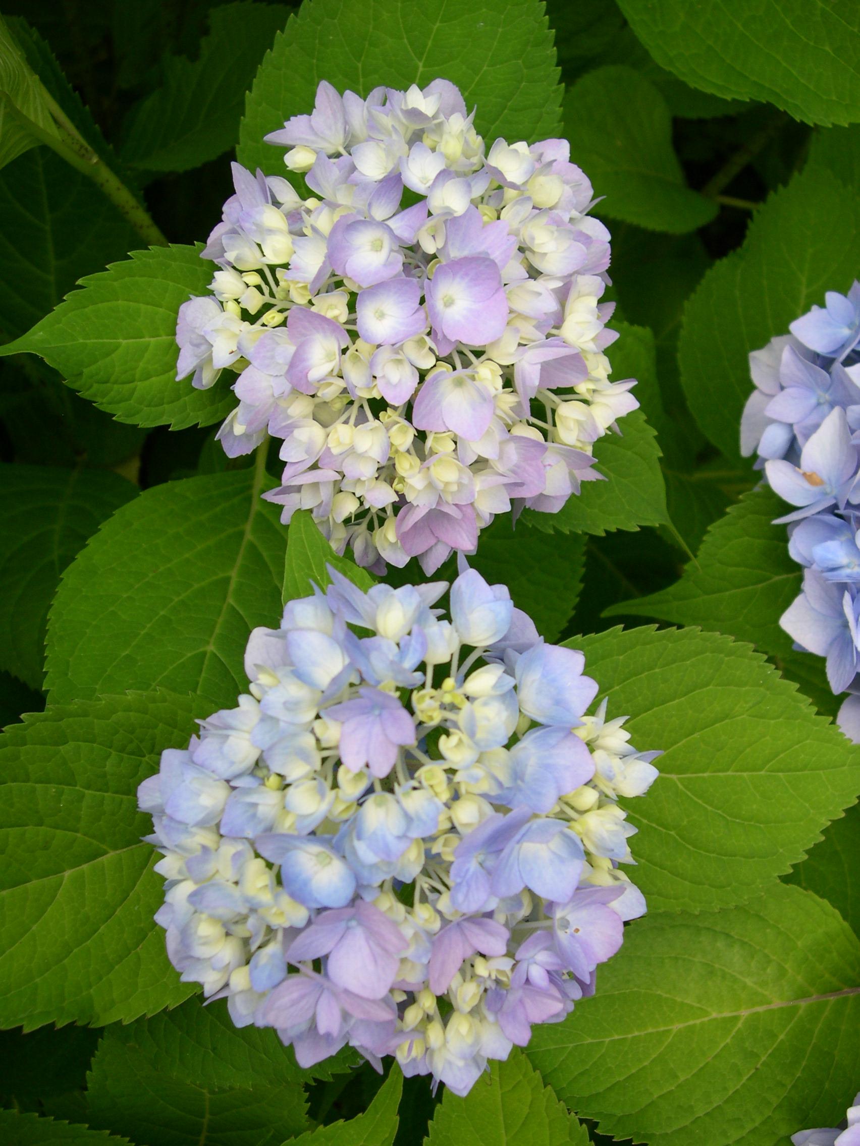 hydrangea blooms