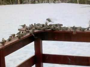 flock of finches in winter