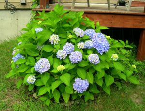 Time to Photograph The Hydrangeas