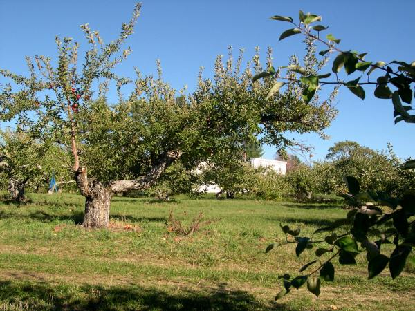 View in the apple orchard