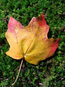 Maple leaf on green moss