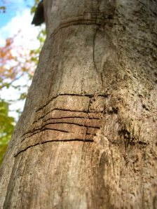 markings on a tree