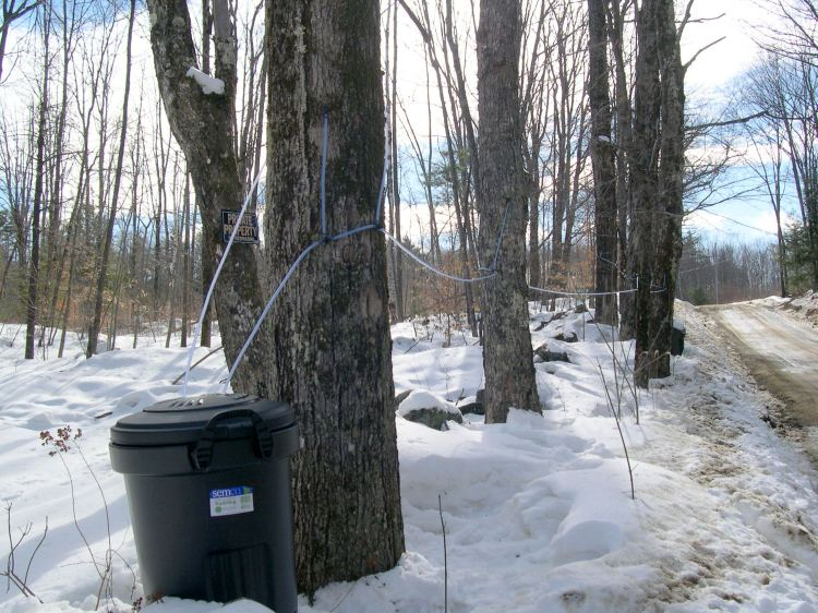 Collecting maple sap for sugaring