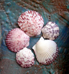 calico scallop seashells