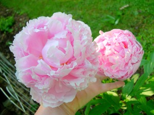 Pink Peonies and Other Flowers From Long Ago