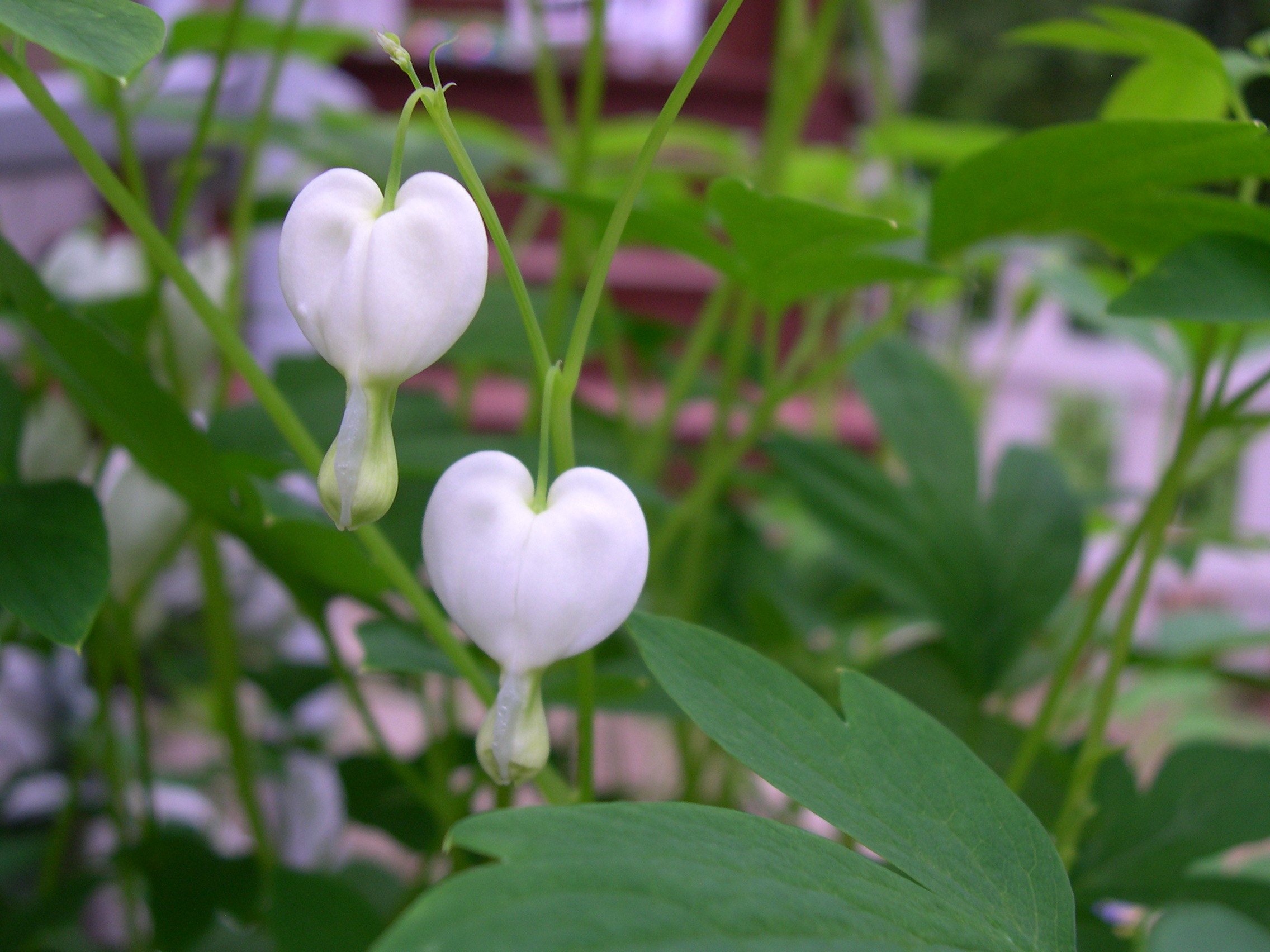 Bleeding Heart Flower White Flowers of The Bleeding