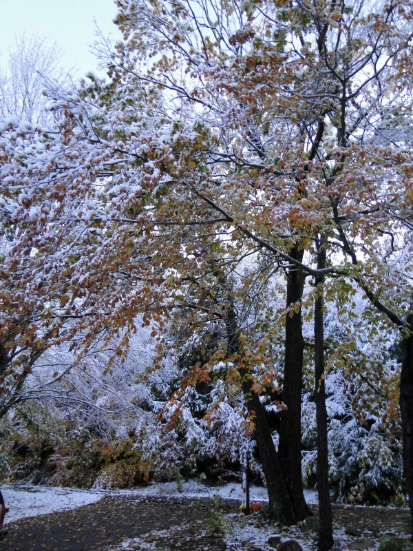 Oak tree with leaves and snow