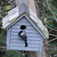 The Chickadees are Building a Nest