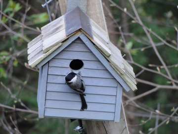 Nest building by chickadees