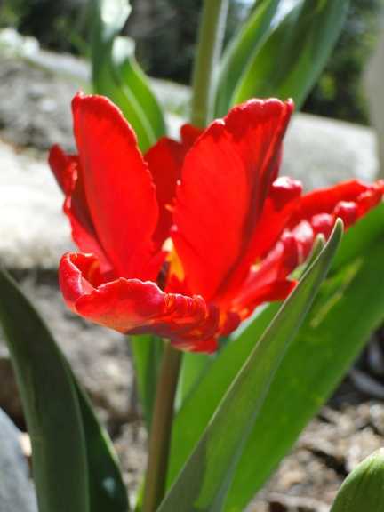 bright red tulip