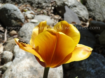 golden yellow tulip