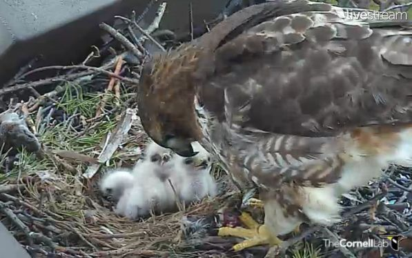 red-tail hawk mom and chicks