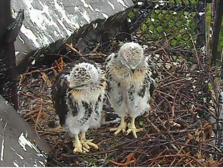 feathers on baby hawks