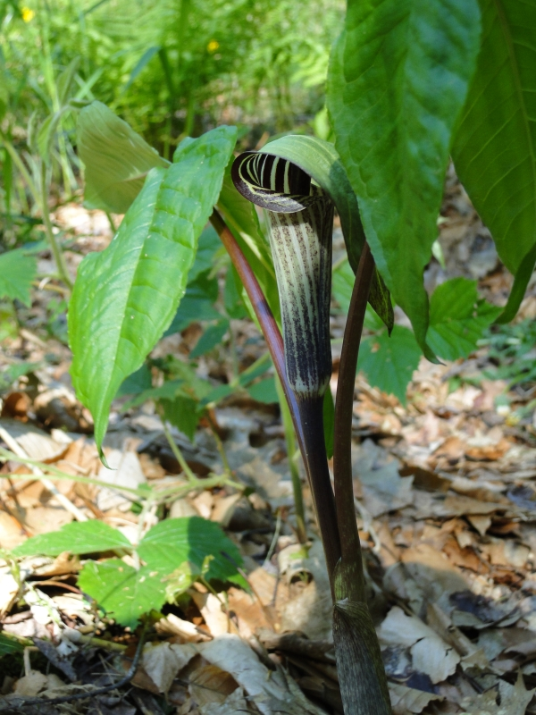 jack in the pulpit plant and flower