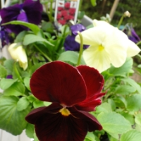 Wine and Cheese - Pansy Colors