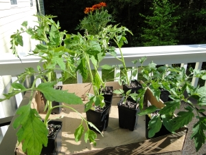 little tomato plants