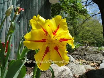 yellow frilly tulip