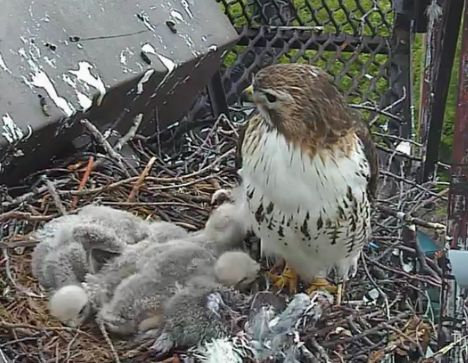 hawk babies and mom in nest