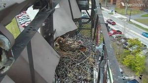 height of hawk cam on nest