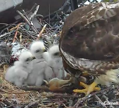 Baby hawks lined up to be fed