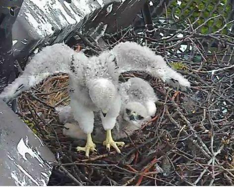 baby hawk wings