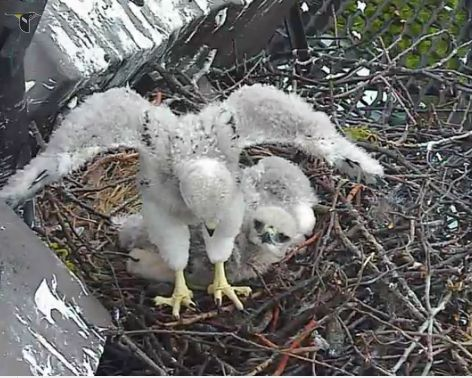 baby hawk wings