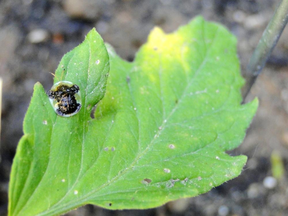 turd bug on tomato leaf