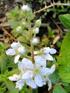 flowering blackberry bush