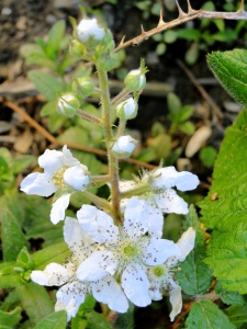 flowering blackberry bush