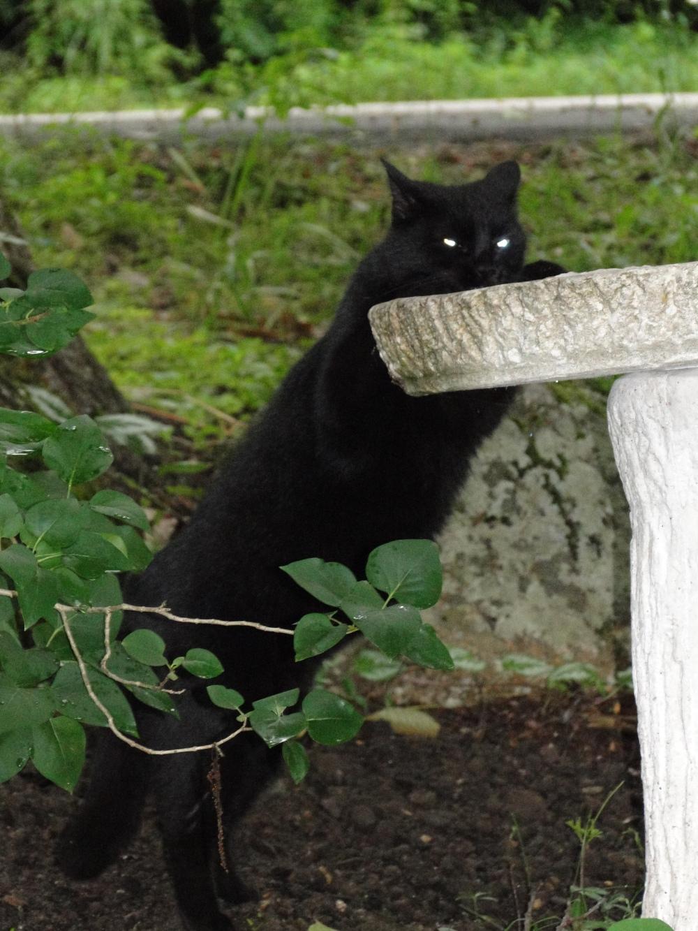 cat drinking from birdbath