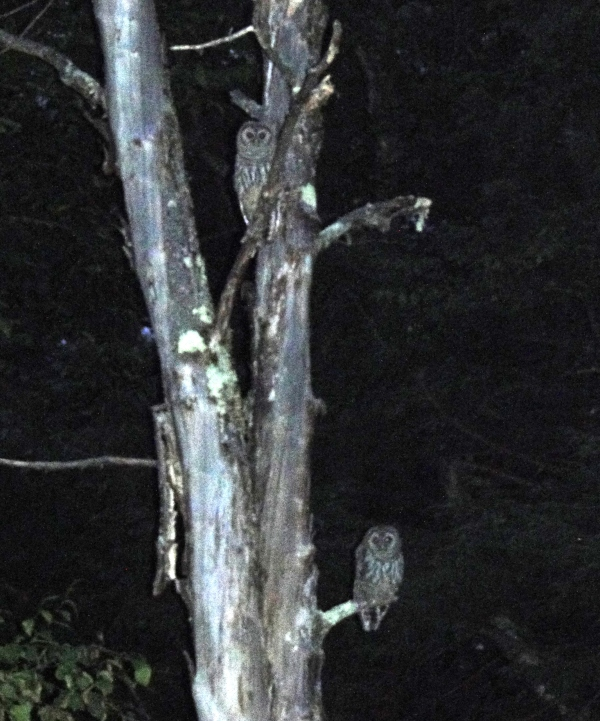 Two Barred owls in a dead tree