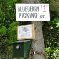 Blueberry Picking on Pitcher Mountain