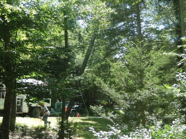 black birch tree cut down