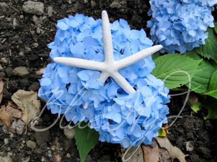 starfish and blue hydrangea flower
