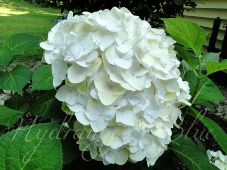 white hydrangea blushing bride