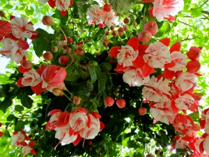 pink fuchsia hanging basket