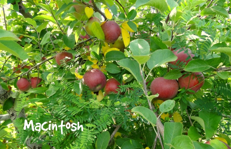 macintosh apples on tree