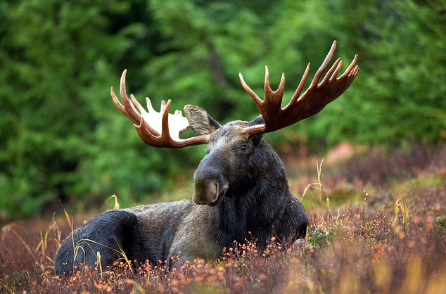 moose lying down