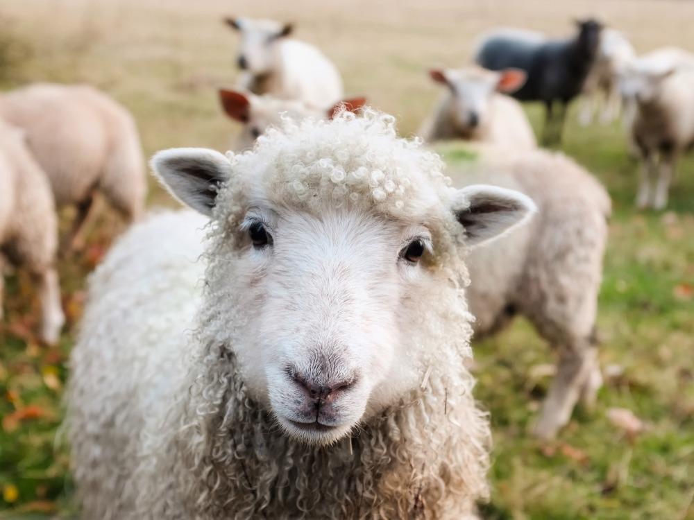 wool fiber from sheep
